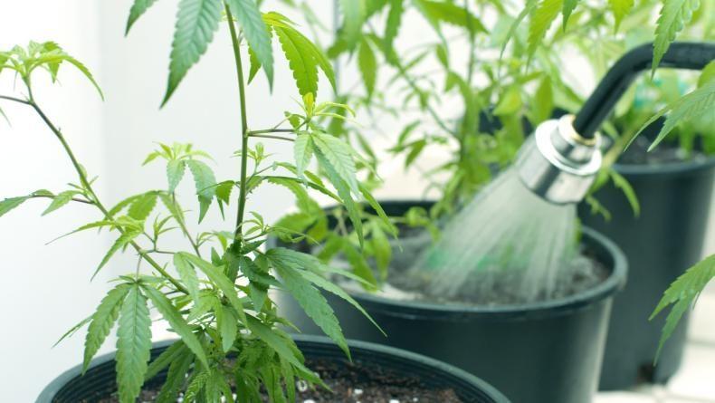 Watering marijuana