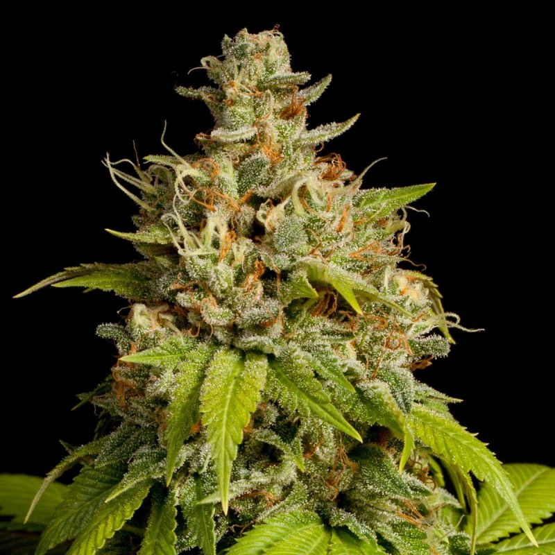 Купить семена канабиса недорого марихуана и репродуктивные функции