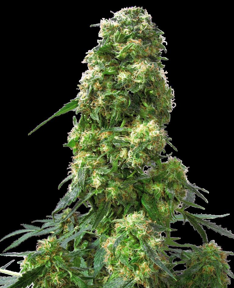 Семена конопли сканка линда марихуана скачать