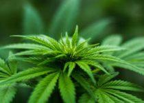 Marijuana Introduction