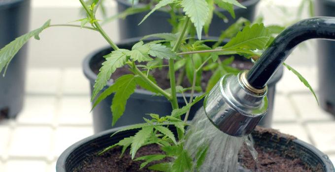 Marijuana watering